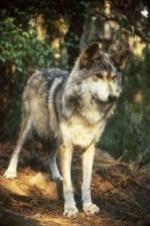 National Geographic Wild - Inside The Wolf Pack